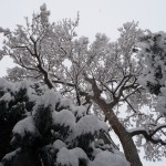 trees, ensnowed