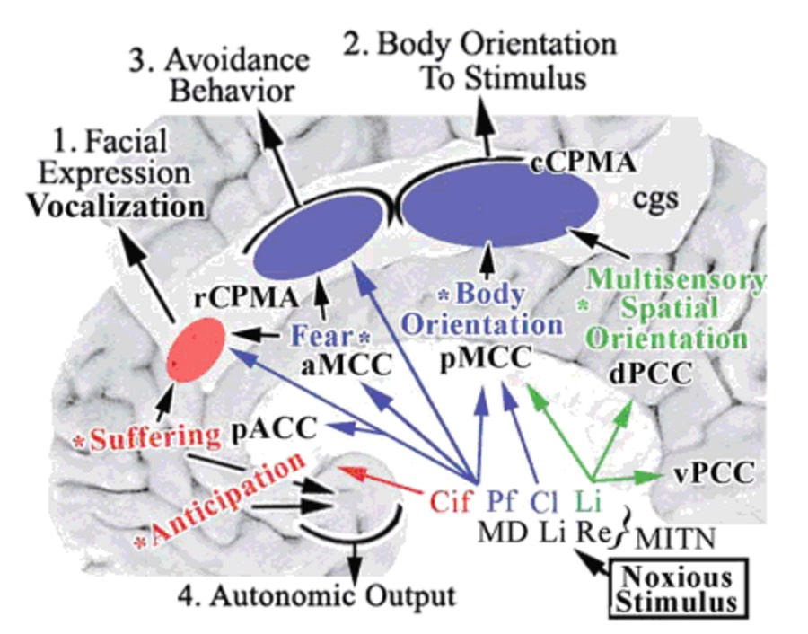 "The Vogt et al. ""four-region"" model of cingulate architecture."